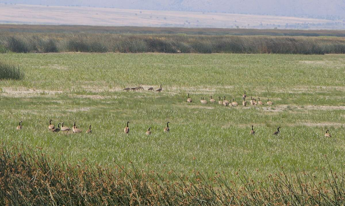 Canada geese stage in what appears a meadow -- it is actually a wetland marsh that had water in it the previous week at Lower Klamath National Wildlife Refuge, a symbol of disappearing water that jeopardizes 50,000 baby ducks that can't fly to water