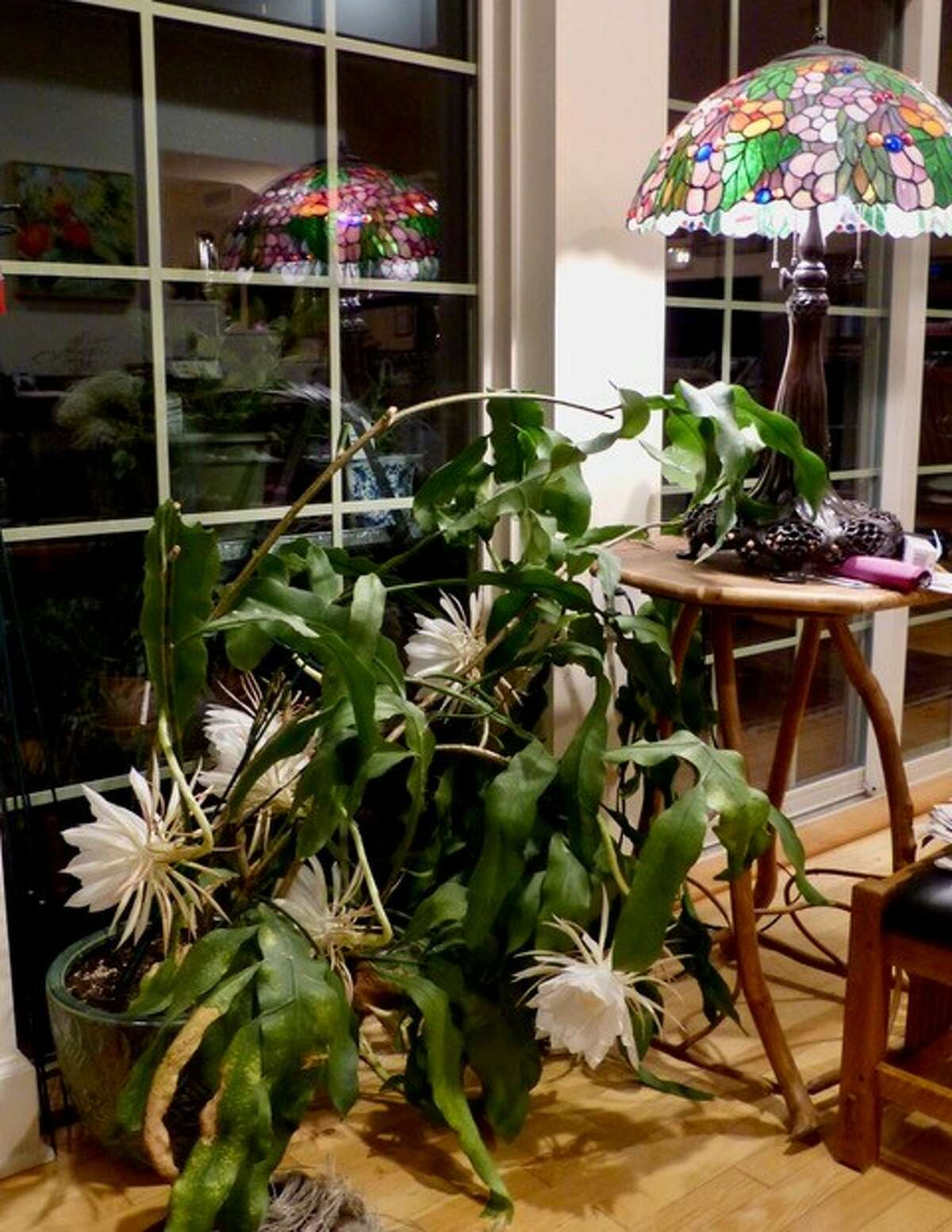 John Borel: The night-blooming Cereus blooms just once a year. At night. We often miss it. But on this extraordinary occasion in June, there were eleven blossoms. We could almost watch them bloom and then die. They were gone in the morning.