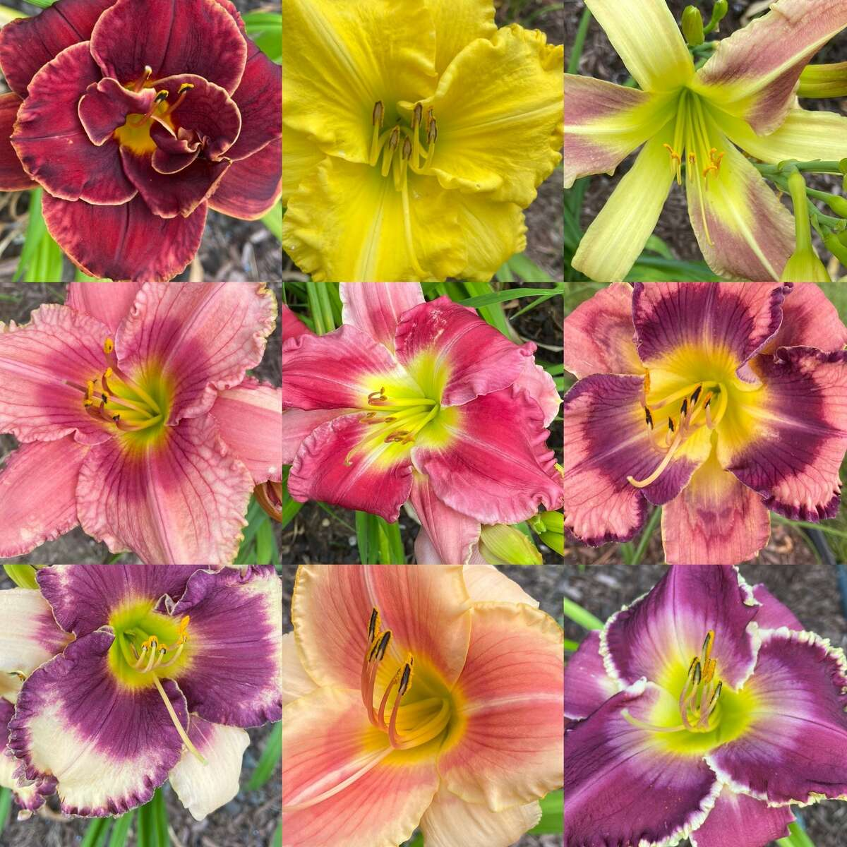 These are a few of the varieties of day lilies grown by Lori Kwiatkowski of Niskayuna. Submitted by Cyndi and Jim Magenis of Guilderland.