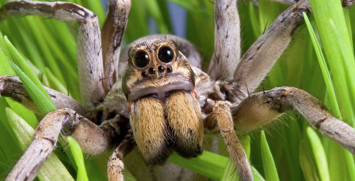 A wolf spider is more afraid of you than you are of it.
