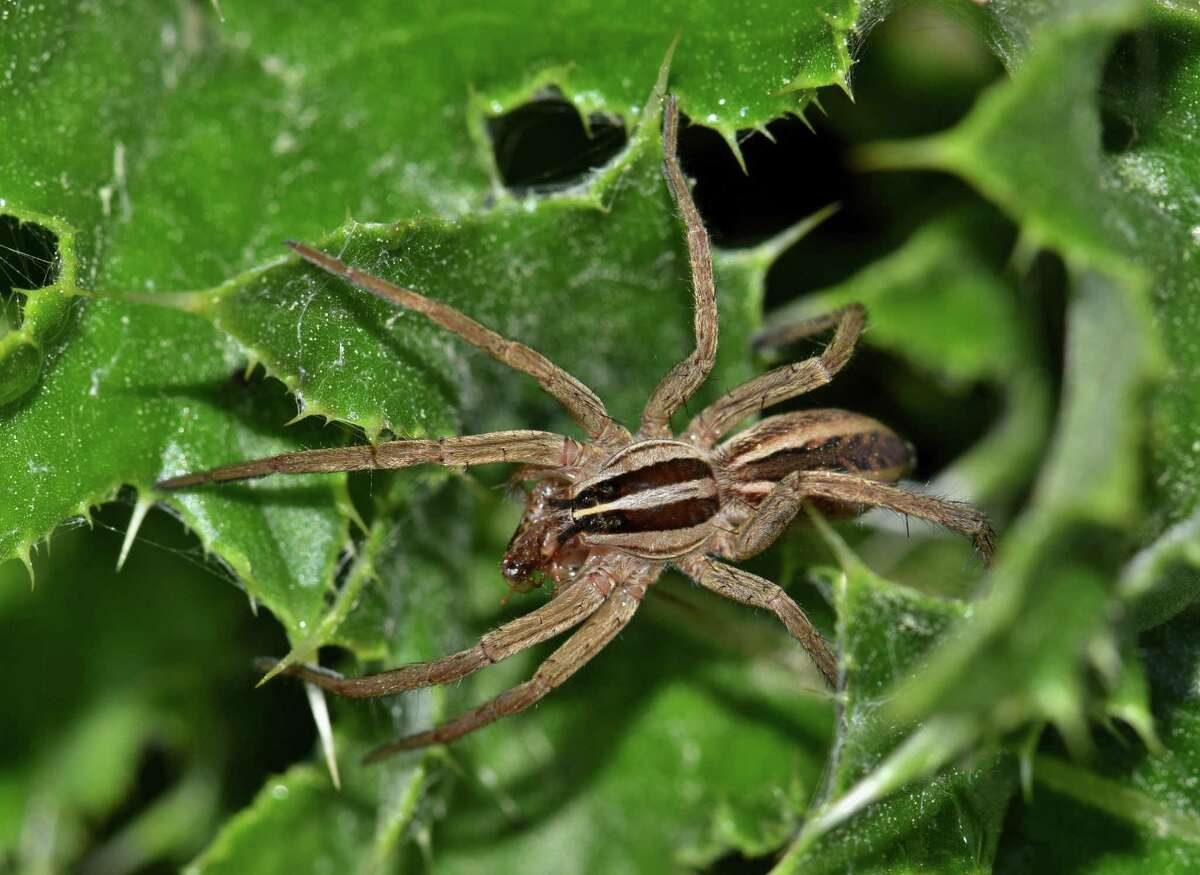 A wolf spider has caught some small insect prey and is eating it on a thistle plant. Wolf spiders are one of the most common spiders in the world.