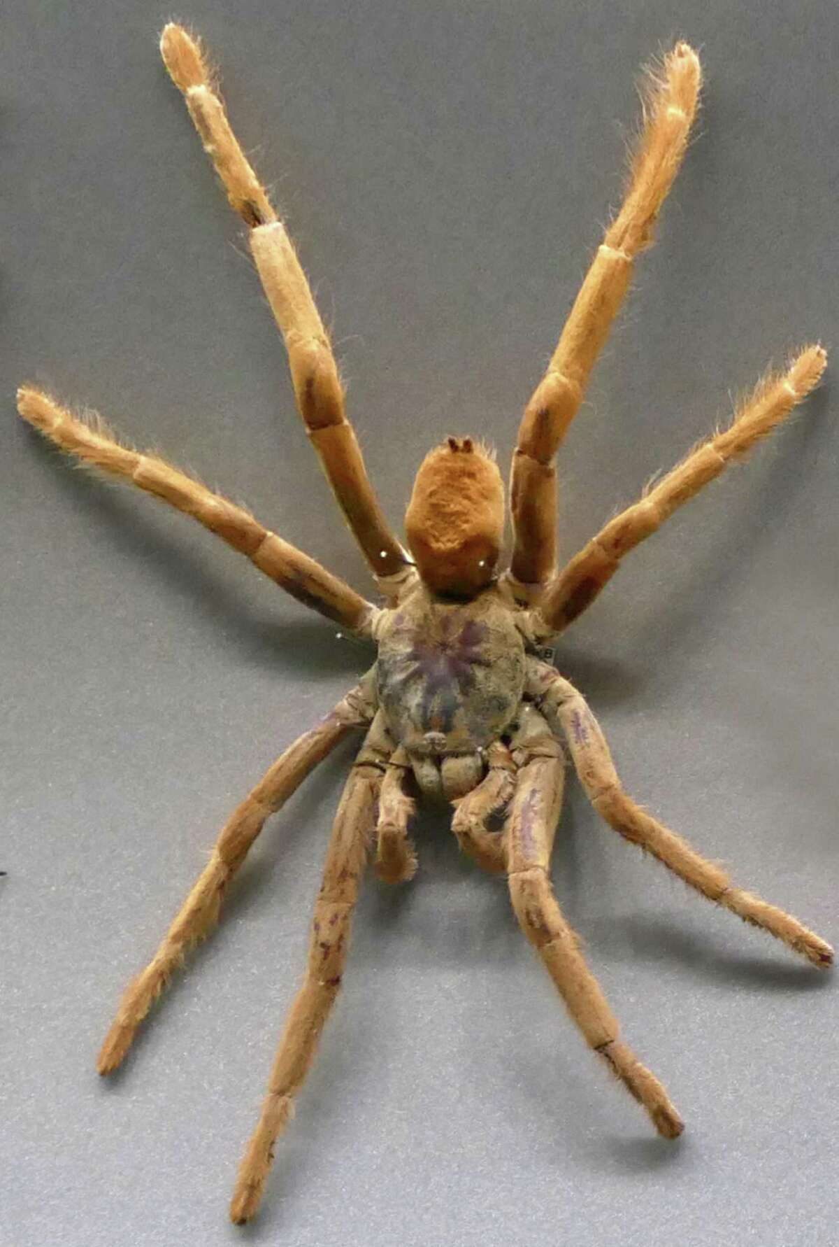 The wolf spider, a member of the family Lycosidae, is a robust and agile hunter with excellent eyesight. They live mostly in solitude and hunt alone, and do not spin webs.