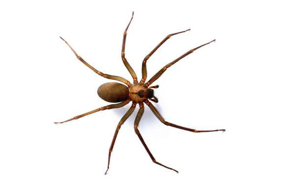 The wolf spider often is mistaken for a brown recluse (pictured). A brown recluse is smaller and has a violin-shaped mark on its back.
