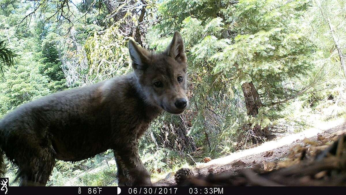 A photo of wolf pup in 2017 from California's only known wolf pack from 2017.