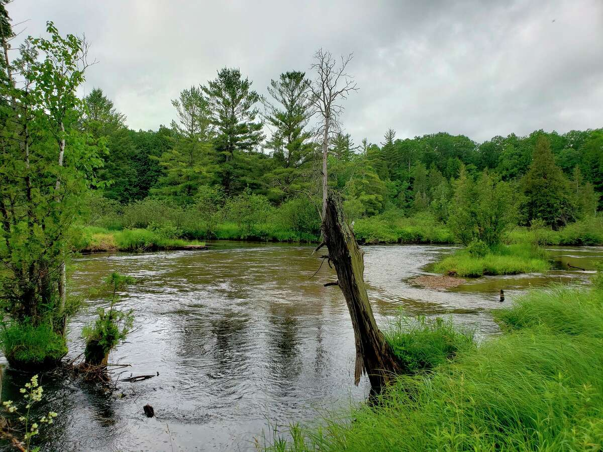 According to MDHHS, ticks generally prefer shady, moist areas in wooded and grassy locations. A plethora of blacklegged ticks can be found amidst the tall grasses that border this section of the Little Manistee River near Little River Road in Stronach Township. (Arielle Breen/News Advocate)