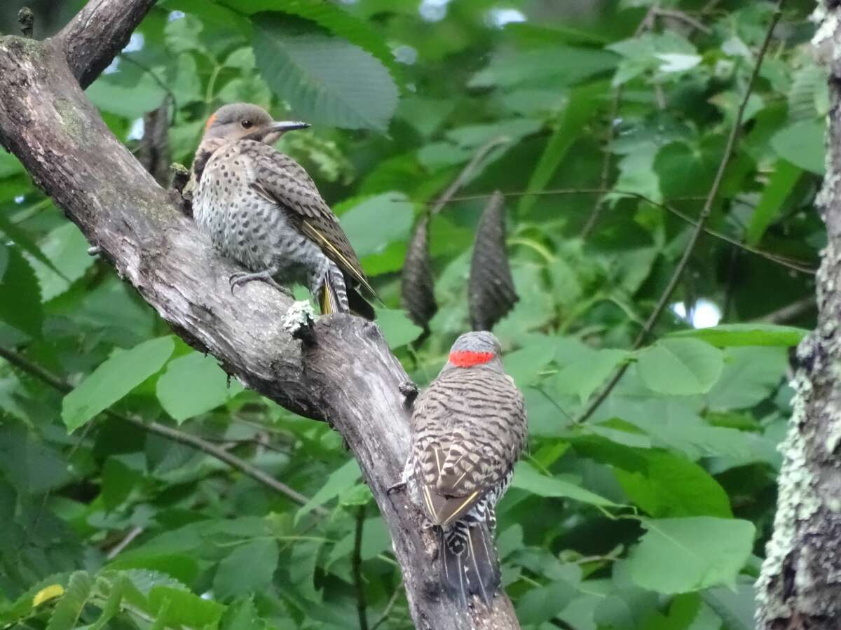 Pair of Yellow-shafted Northern Flickers spotted along Beaver Tree Trail at Five Rivers. Tim O'Toole