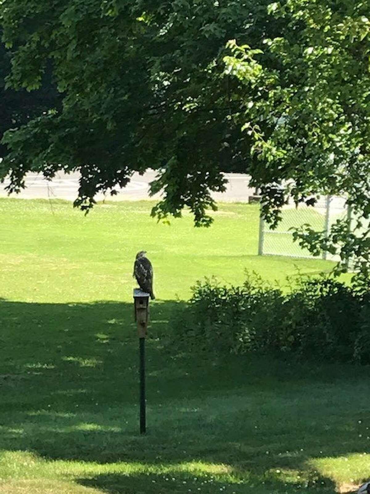 This just seems a little too easy for a bird of prey, says Linda Zwicklbauer of Slingerlands.