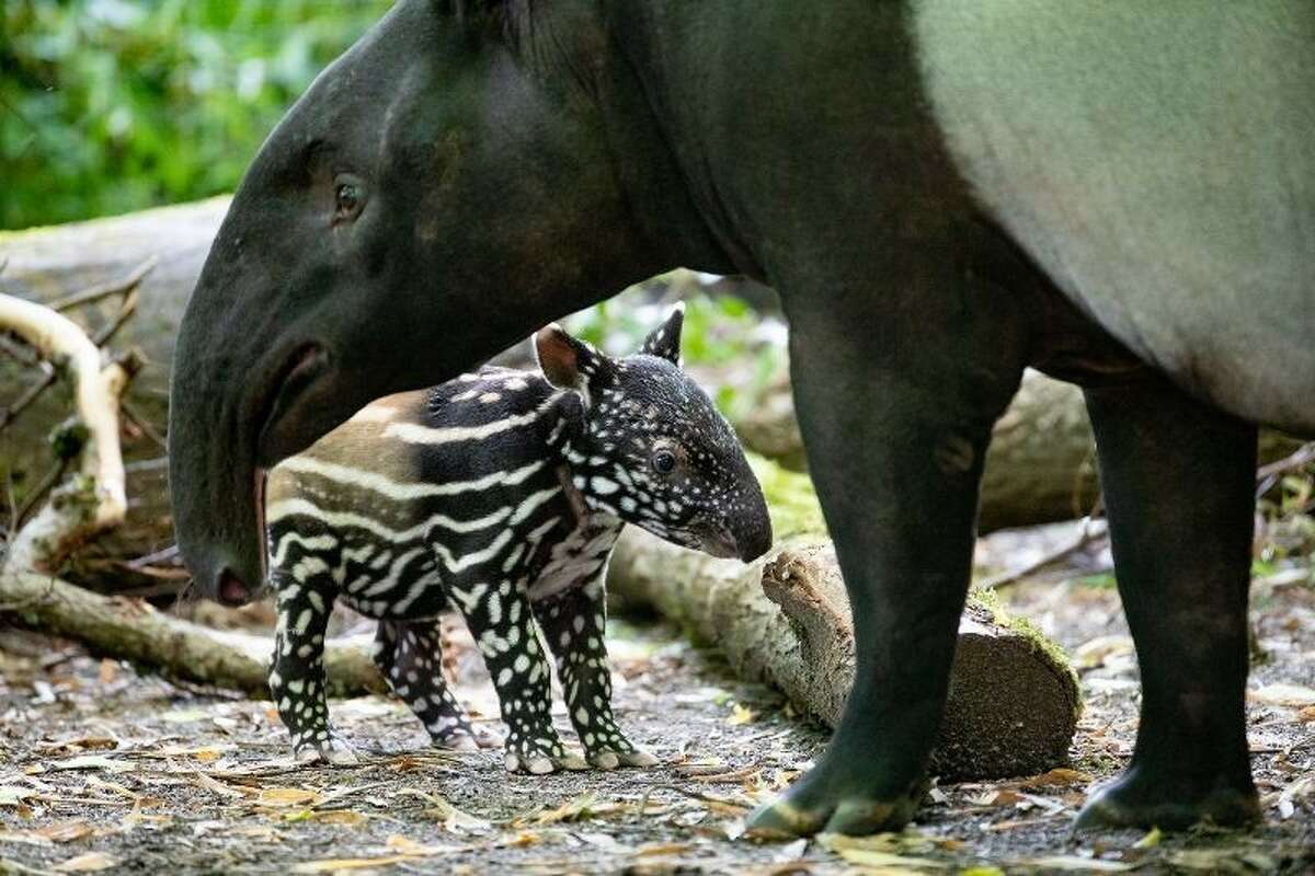 After gestating for a long 13 months, a baby female tapir was born weighing a whopping 18 pounds in June. Zoo keepers have been joking that the newborn tapir is like a watermelon with legs due to the striping of its coat.