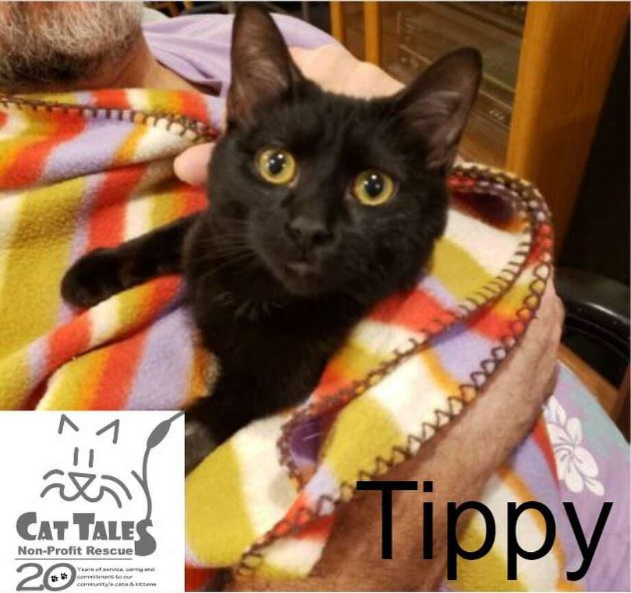 """Tippy is a 2-year-old black male kitty. He says, """"I was rescued as a 4 day old kitten and have been around people my whole life. I'm a sweet boy with lots of love to give. Whenever you sit down or lay down I will climb up on your chest and fall asleep. I'm a total love bug. I would do best if I am the only cat in the home. Not because I wouldn't get along with another cat but because I am on a special diet due to a shortened colon. I am also on medicine for this to prevent flareups but I am such a good boy at taking it! I'd love to come home with you! I have been waiting a very long time to find a forever home."""" Visit www.CatTalesCT.org/cats/Tippy-2, call 860-344-9043 oremail: info@CatTalesCT.org. Watch our TV commercial: https://youtu.be/Y1MECIS4mIc Photo: Contributed Photo"""