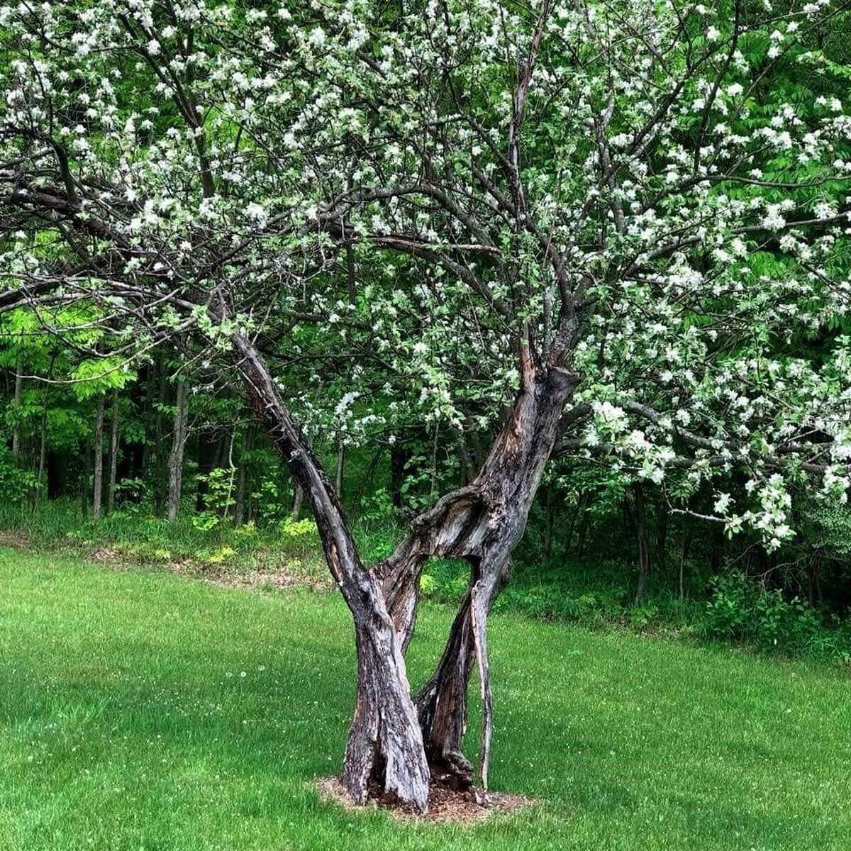 Featured is the Faith Tree. According to event organizer Julie Cole, the Faith Treeis a 140-year old tree that teaches residents about never giving up, weathering storms, having faith and believing in miracles.(Courtesy photo)