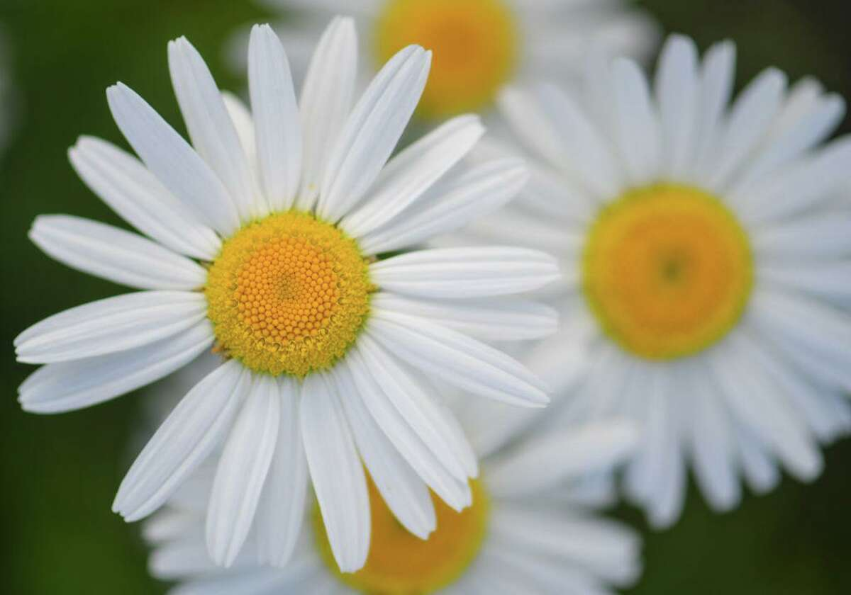 Marguerite daisies are happy blooms.