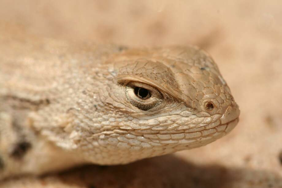 The Fish and Wildlife Service has said the dunes sagebrush lizard found in the Permian Basin likely warrants listing as an endangered species and is seeking comment on a Candidate Conservation Agreement with Assurances. Photo: Courtesy Fish And Wildlife Service