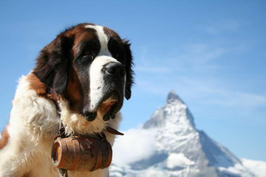 St. Bernard rescue dog. Photo: Emmepiphoto/Getty Images/iStockphoto / emmepiphoto