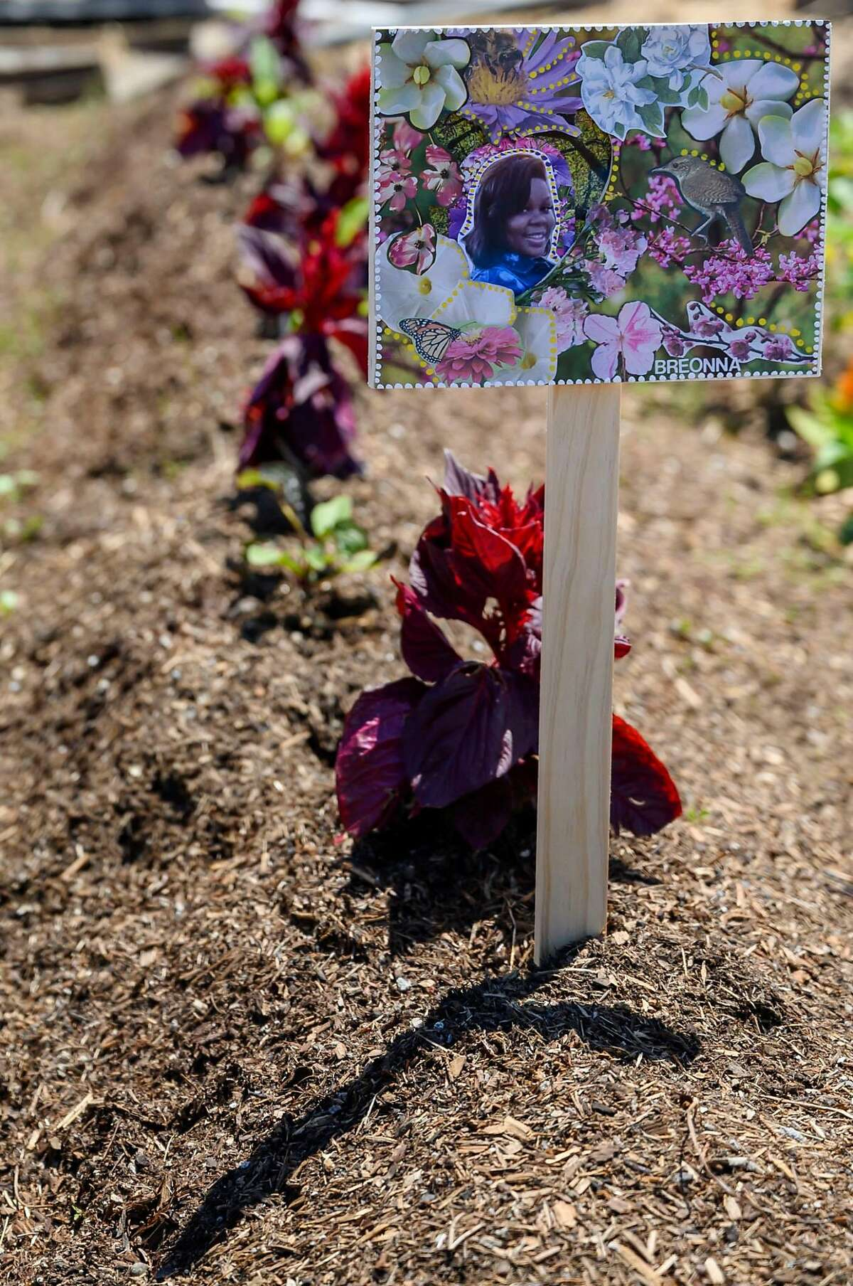 A row marker made by Danielle Fernandez bears a photo of Breonna Taylor, a Louisville woman who was killed by police officers during a no-knock-warrant in March, is illuminated by the sun on Friday, July 17, 2020 at Loyal to the Soil urban garden in San Francisco, Calif.