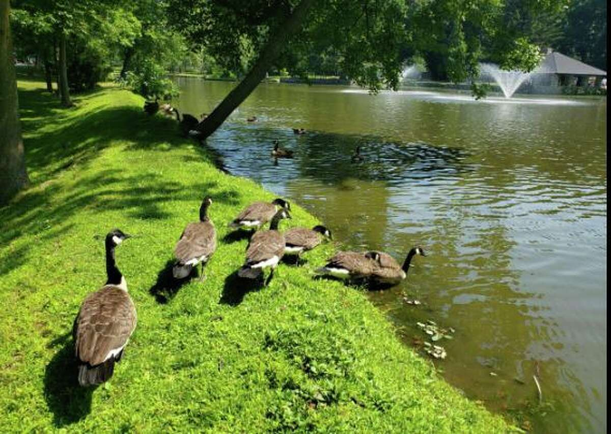 The geese have returned at Tilley Pond
