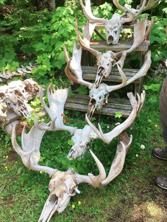 Moose skulls (Photo provided/McLean Nature Preserve)