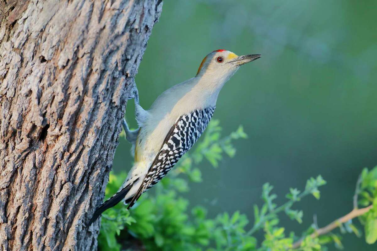 A golden-fronted woodpecker (Melanerpes aurifrons) on a tree in South Texas. The woodpecker is one of the most common in San Antonio.