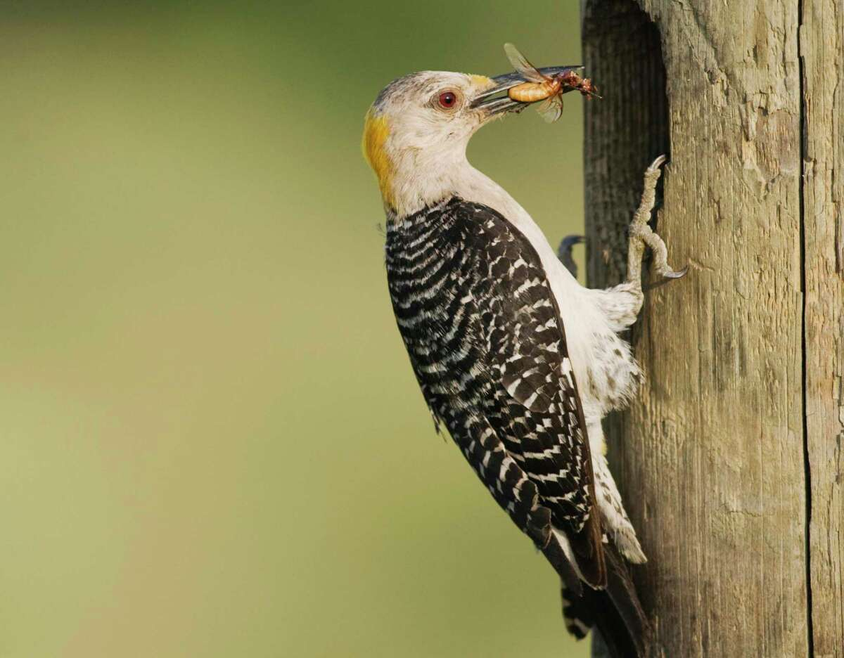 Golden-fronted woodpeckers eat insects as well as fruits and seeds.