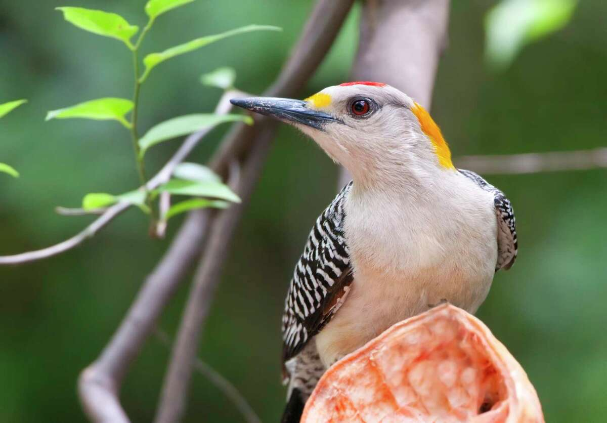 It's easy to spot a male golden-fronted woodpecker. The males have a red crown.