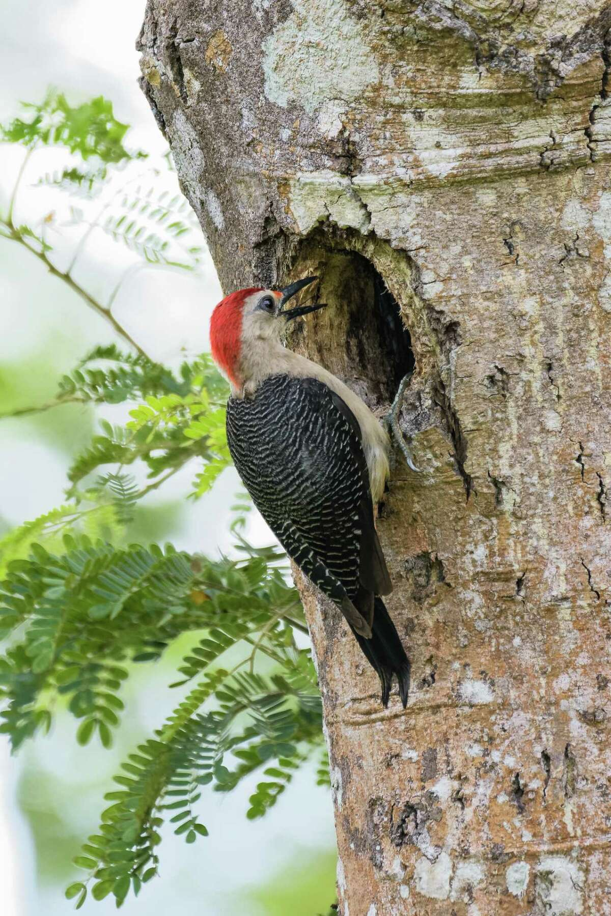 Woodpeckers nest in dead trees and even utility poles, then tend to move on to the next tree or pole to peck. Squirrels, birds and other critters then move in.