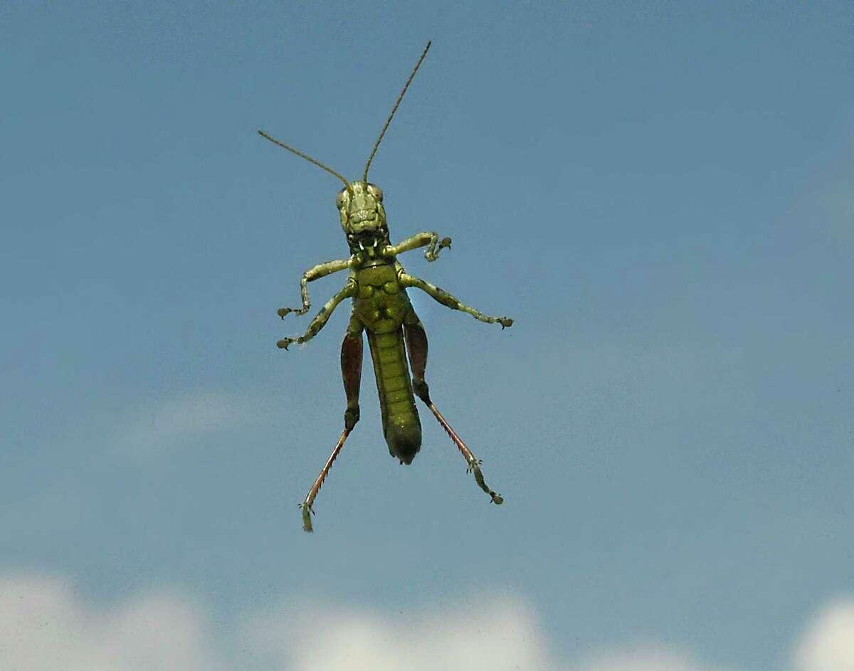 A grasshopper peaks through a windshield on Tuesday, July 28, 2020 in Schenectady, N.Y. (Lori Van Buren/Times Union)
