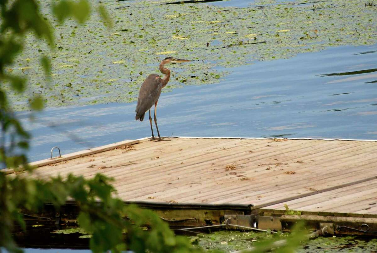 A great blue heron stands on a dock looking for food in the Mohawk River on Tuesday, July 28, 2020 in Niskayuna, N.Y. (Lori Van Buren/Times Union)