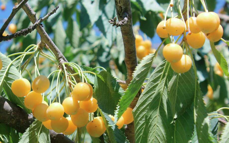 A dark red might be the traditional look for sweet cherries, but North Star Organics grows a number of golden sweet cherries which feature the same great taste but a unique look. (Photo/Robert Myers)