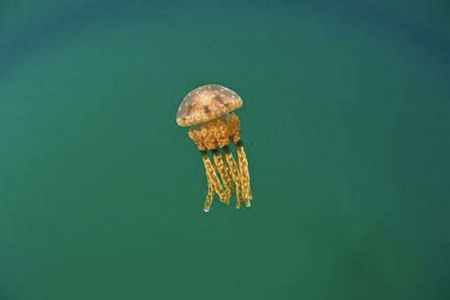 "Thimble jellyfish, whose larval form is known as ""sea lice."" Photo: Ethan Daniels Contributed / Getty Images/WaterFrame RM / Greenwich Time Contributed"