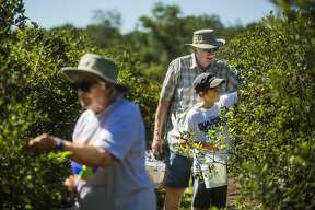 Chuck Lemke, top right, picks blueberries with his grandson, Eli Lemke, 11, right, and his wife, Terry Lemke, left, at Russell's Blueberry Farm Tuesday, July 28, 2020 in Freeland. (Katy Kildee/kkildee@mdn.net)