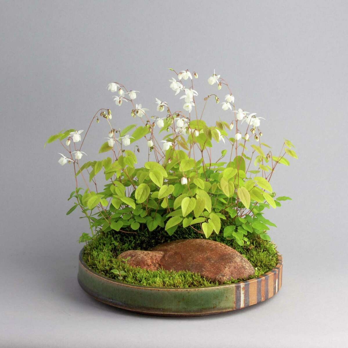 Although bonsai trees can appear immutable, kusamono compositions mark the seasons, here the arrival of the early spring blooms of the epimedium hybrid Niveum.