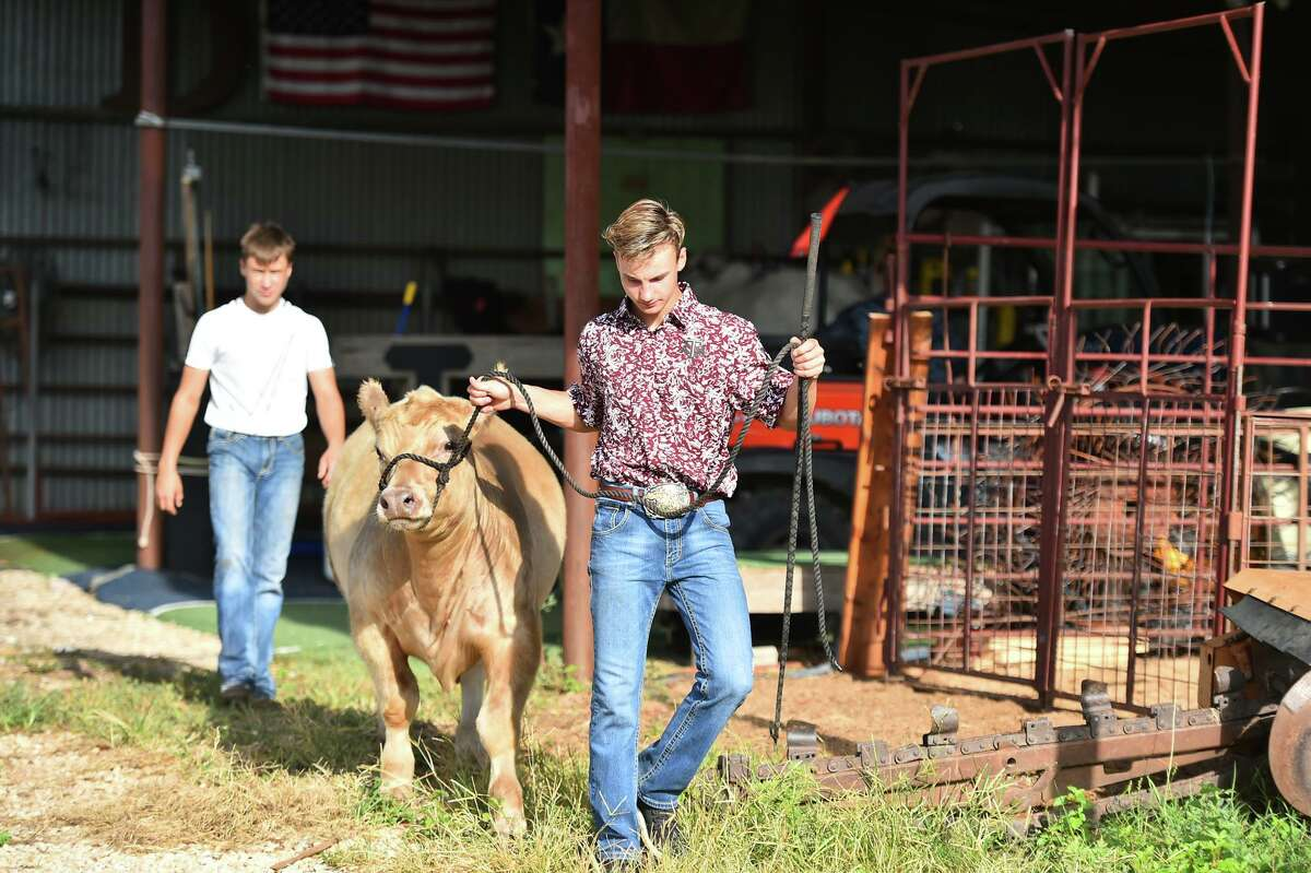 Sutton Davis, along with his brother Sawyer, works with his cattle in preparation or the San Antonio Stock Show & Rodeo, which is still scheduled for February 11-28.