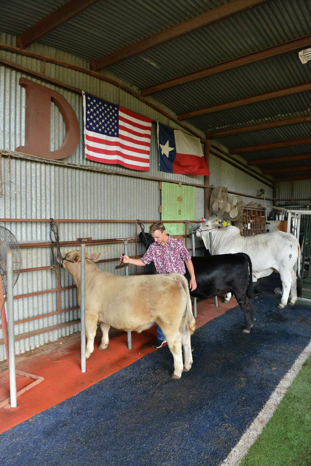 Like a lot of students working to raise show animals for the San Antonio Stock Show & Rodeo in February, Sutton Davis is watching warily as the coronavirus continues to wreck havoc with big annual events ranging from Fiesta San Antonio to South by Southwest.