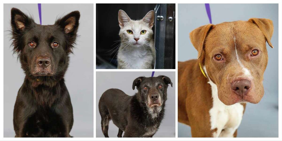 Those wishing to adopt any of these pets are asked to make an appointment in advance by phone at (281) 999-3191. Adoptions are available on a first-come-first-served basis. Adoption hours run from 1 p.m. to 5:30 p.m. on weekdays and from 11 a.m. to 3:30 p.m. on Saturdays and Sundays. HCP is located at 612 Canino Road, Houston. For more information, visit www.CountyPets.com.