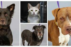 Buttercup (left:A558765) is a 2-year-old, female, Border Collie mix;  Cream (center:A558308) is a 3-year-old, female, orange/white tabby cat; Bentley (center:A558330) is a 7-year-old, male black/white Labrador retriever mix; and Jay-Jay (right:A558561) is a 3-year-old, male, borwn/white American Staffordshire mix.   All are available for adoption from Harris County Pets, photographed, Thursday, July 30, 2020, in Houston.