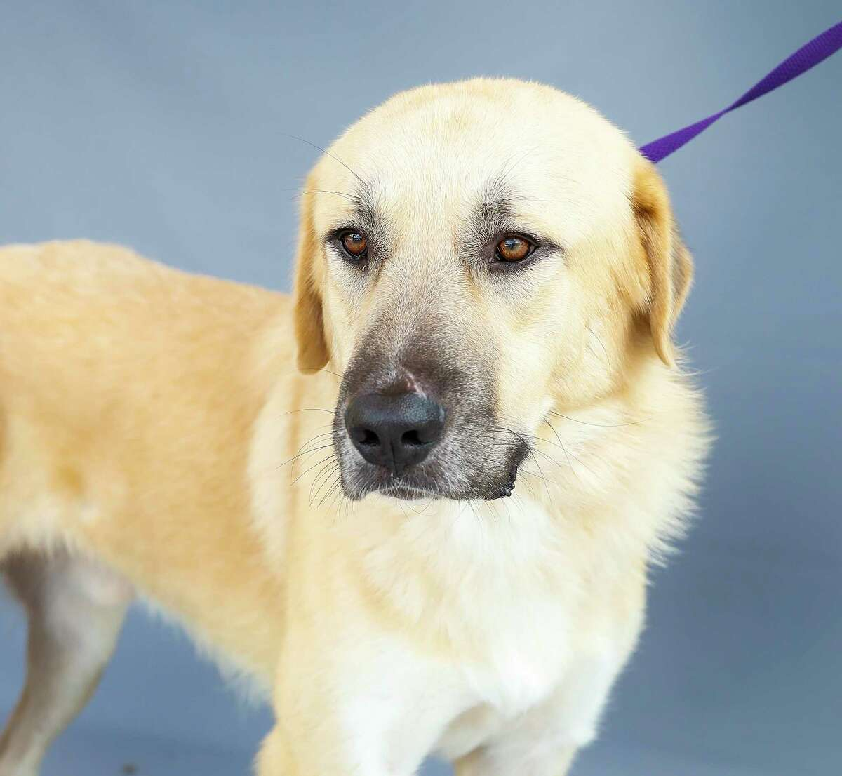 Bruce (A558817) is a 2-year-old, male, cream Great Pyrenees. This gorgeous boy was brought in as a stray. Shelter staff say he is very mild-mannered and gentle.