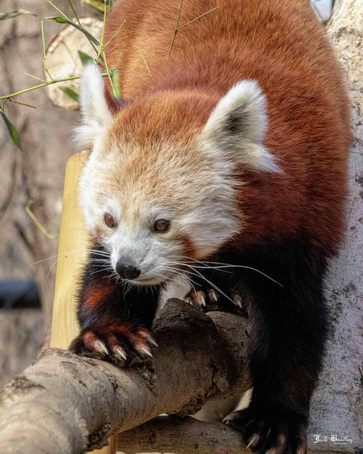 Meri, the red panda who came to Connecticut's Beardsley Zoo in 2018, died in her sleep July 27, 2020 Photo: Photo By Jack Bradley Connecticut's Beardsley Zoo