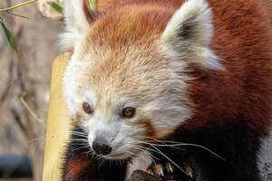 Meri, the red panda who came to Connecticut's Beardsley Zoo in 2018, died in her sleep July 27, 2020