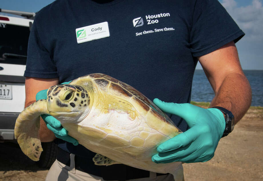 """Two green sea turtles have been released back to the wildby Houston Zoo officials, according to a Friday release. """"Twitch"""" was discovered in Galveston Bay in late May. The turtle was found entangled in a fishing line with most of its left front flipper missing, and what remained had to be amputated by Zoo veterinarians. Twitch received antibiotics and was given a clean bill of health before being set free, according to the Zoo. Photo: Jackelin Reyna/Houston Zoo"""