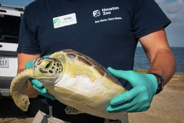 Houston Zoo sent two sea turtles back to the bay in July, 2020.