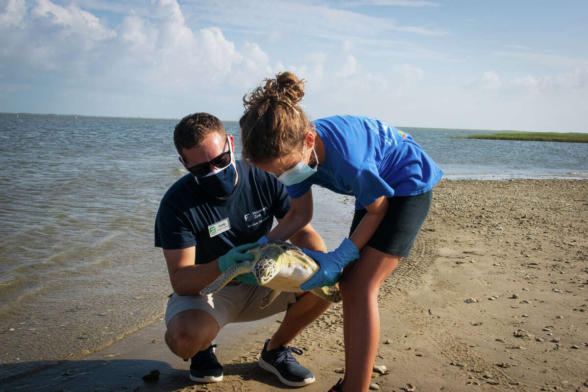 Both sea turtles were released in Christmas Bay on Friday with Twitch accompanied by the people who freed him from the fishing line, National Oceanic and Atmospheric Administration scientist Dr. Jennifer Leo and her family.
