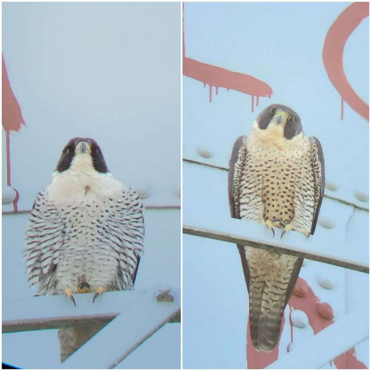 The cute couple, doting parents of newborns, have built the first falcon nest in Alcatraz Island's history.