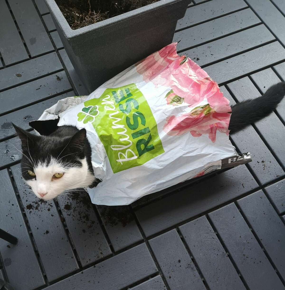 Garden-variety tomcat: Ron recycles a plastic potting soil bag in Kreuztal, Germany.