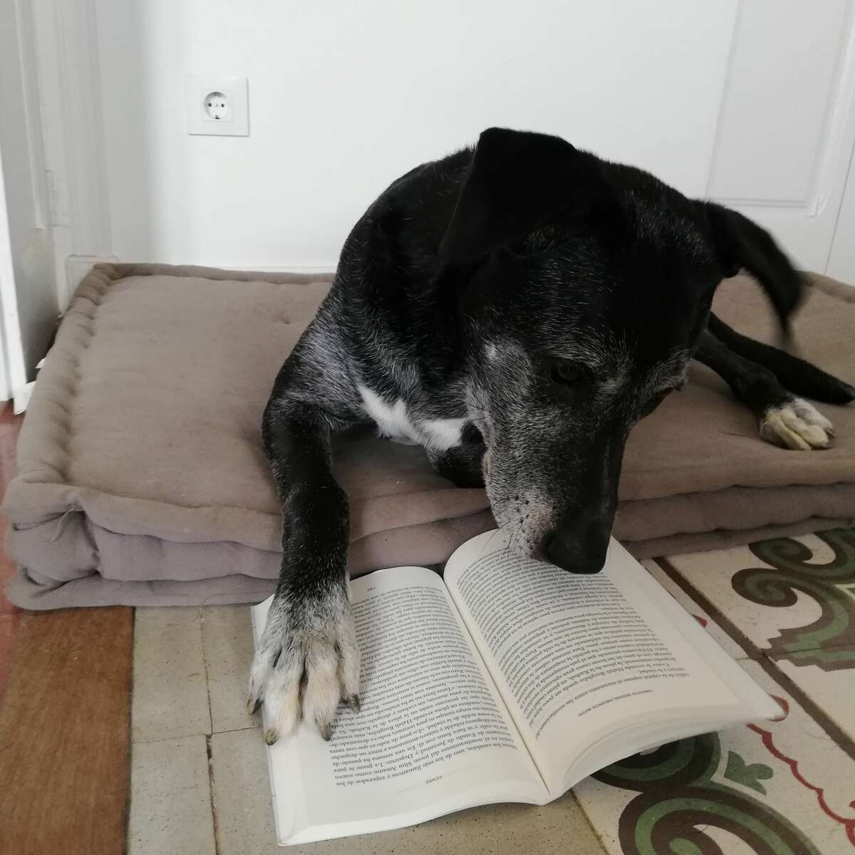 No treats until you finish your homework: Newton pores over a dog-eared book in Barcelona.