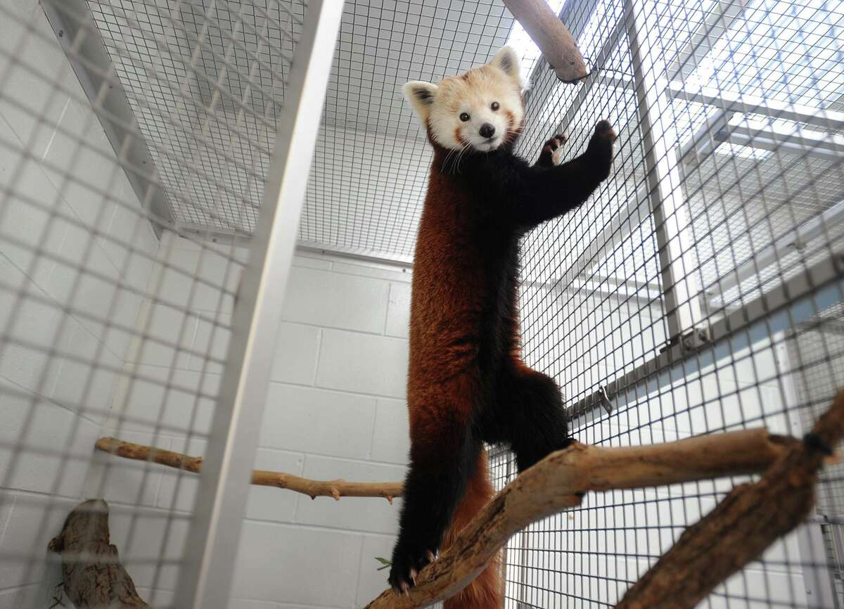 Female red panda Meri waits to be united with resident male Rochan for breeding at the Beardsley Zoo in Bridgeport, Conn. on Tuesday, February 13, 2018.