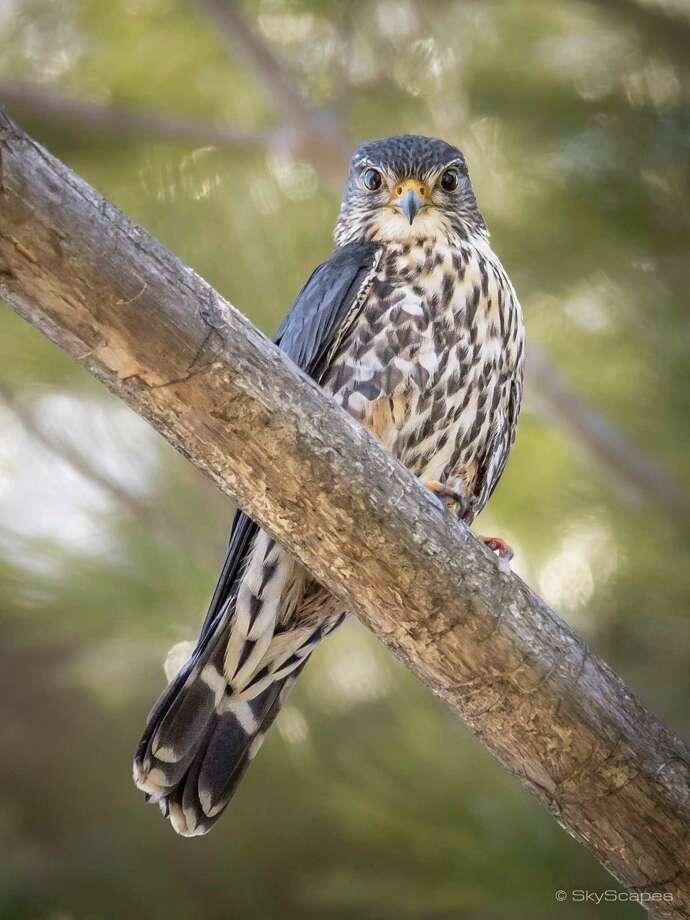 Merlin Falcon #2 / © SkyScapes