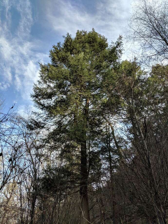 """The largest and healthiest tree in a New Jersey stand of """"bulletproof"""" eastern hemlocks, thought by some scientists to harbor natural genetic resistance to the hemlock woolly adelgid. Photo: Handout Photo By Ian Kinahan, University Of Rhode Island / Handout"""