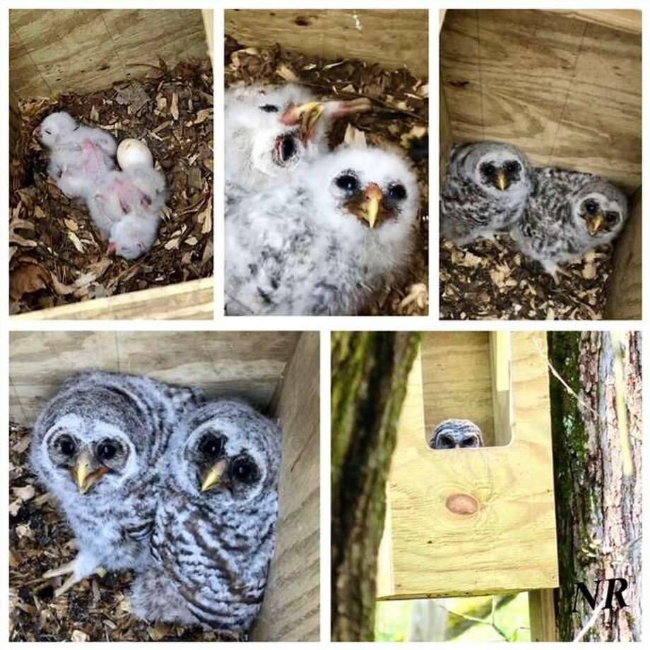 Collaged photographs depict the progress of barred owlets during a nesting study by Bremer Sanctuary volunteers, with help from Decatur's Illinois Raptor Center's Jacques Nuzzo and the University of Illinois Extension 4-H. Photo: Courtesy Of Bremer Sanctuary|For The Telegraph
