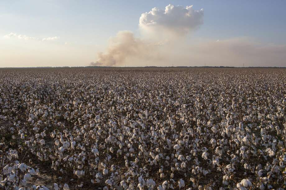 Cotton, in its natural state is white, but with new developments by Australian scientists, cotton may be produced in different colors. Photo: Andrew Lichtenstein/Corbis Via Getty Images / 2019 Andrew Lichtenstein