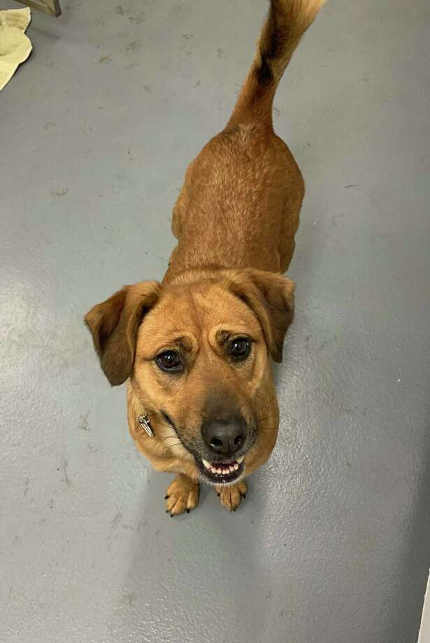 Hannah is a special 4-year-old Shepherd mix that seeks a loving home with extra TLC. Photo: ROAR-Ridgefield Operation For Animal Rescue