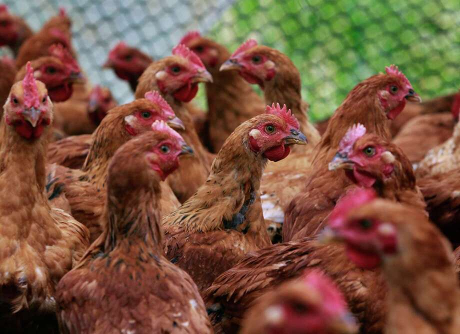 Freedom Ranger chickens are raised on a pasture in an enclosure at the certified-organic Riverdog Farm in Guinda, Calif. on Friday, April 25, 2014. Photo: Paul Chinn / The Chronicle / ONLINE_YES